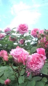 ビアンヴュニュ(薔薇)