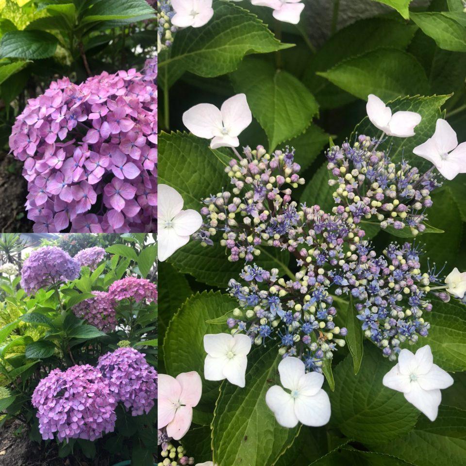 紫陽花 剪定
